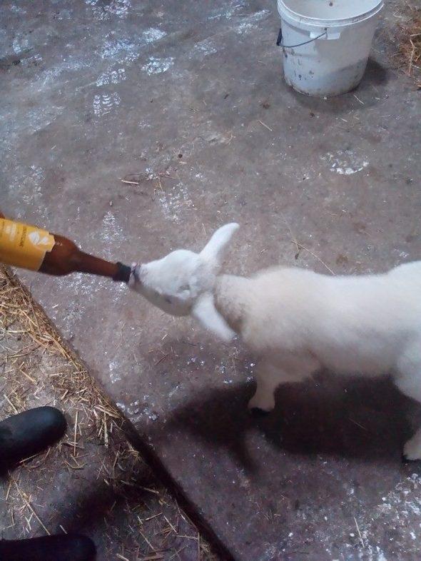 kinnegar lamb2